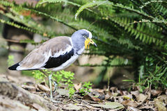 White-crowned Lapwing (Vanellus albiceps) royalty free stock image