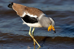 White-crowned lapwing. (Vanellus albiceps) wading in water - Kruger National Park (South Africa stock images