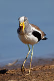 White-crowned lapwing Royalty Free Stock Image