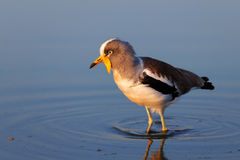 White-crowned lapwing in water Stock Photos