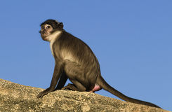 White-Crowned Mangabey. A curious mangabey observing his environment Stock Images