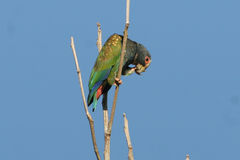 White-crowned Parrot Royalty Free Stock Photography