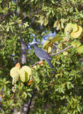 White crowned Pigeon (Patagioenas leucocephala) on a tropical tree Stock Image