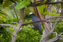 White-crowned Pigeon Perched in Tree. In Roatan, Honduras Stock Image
