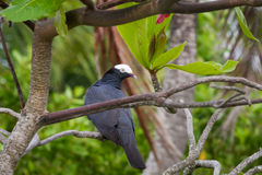 White-crowned Pigeon Perched in Tree. In Roatan, Honduras Stock Images