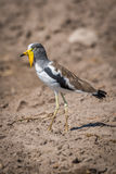 White-crowned plover on bare earth in profile Royalty Free Stock Photo