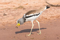 White-crowned plover Royalty Free Stock Photos