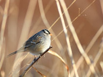 White-crowned Portrait Stock Images