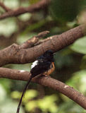 White crowned robin chat is a bird scientifically known as Cossy Stock Image