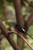 White crowned robin chat is a bird scientifically known as Cossy Royalty Free Stock Photography