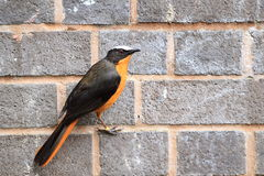 White-crowned robin-chat Royalty Free Stock Images