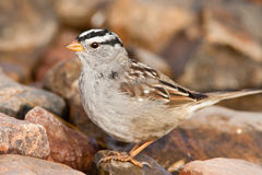 White Crowned Sparrow. Full Body Profile of Adult Male White Crowned Sparrow Standing on Rock Royalty Free Stock Image
