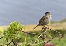 White-crowned sparrow. Chirping, Point Reyes, California Stock Photography