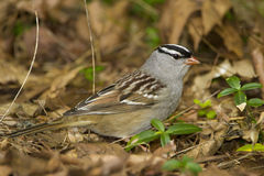 White-crowned Sparrow. (Zonotrichia leucophrys) foraging on the ground - Ontario, Canada Stock Photography