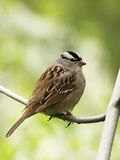 White-crowned Sparrow Royalty Free Stock Photography