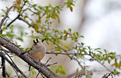 White Crowned Sparrow Stock Image