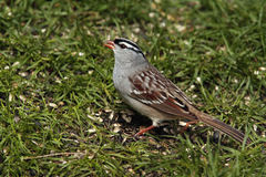White-crowned Sparrow. (Zonotrichia leucophrys Stock Photography