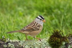 White-crowned Sparrow. With seed in beak royalty free stock photo