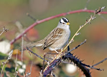 White Crowned Sparrow. Adult white crowned sparrow perched on black berry bushes Stock Image