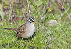 White Crowned Sparrow. Adult white crowned sparrow on the ground Royalty Free Stock Photos