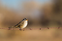 White Crowned Sparrow on Barb Wire Royalty Free Stock Photos