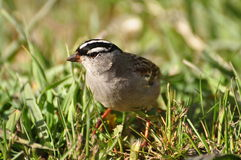 White-crowned Sparrow bird Royalty Free Stock Image