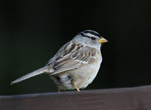 White-crowned Sparrow Close-Up Royalty Free Stock Image