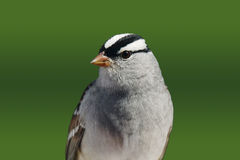 White-crowned sparrow closeup Stock Images