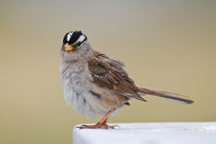 White-crowned Sparrow closeup Stock Photo
