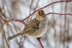 White-crowned sparrow on a cloudy winter's day. Immature white-crowned sparrow on a cloudy winter's day. It is a species of passerine bird native royalty free stock photo