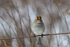 White-crowned sparrow on a cloudy winter's day. Immature white-crowned sparrow on a cloudy winter's day. It is a species of passerine bird native stock photo