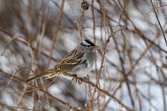 White-crowned sparrow on a cloudy winter's day. It is a species of passerine bird native to North America. A mature bird has a grey face and black and royalty free stock images