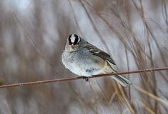 White-crowned sparrow on a cloudy winter's day. It is a species of passerine bird native to North America. A mature bird has a grey face and black and royalty free stock photography