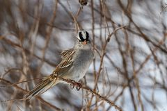 White-crowned sparrow on a cloudy winter's day. It is a species of passerine bird native to North America. A mature bird has a grey face and black and stock photo