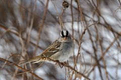 White-crowned sparrow on a cloudy winter's day. It is a species of passerine bird native to North America. A mature bird has a grey face and black and stock images