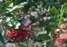 White crowned sparrow perched in a berry bush, eating. White crowned sparrow eating red berries in a bush. The white-crowned sparrow Zonotrichia leucophrys is a Royalty Free Stock Images
