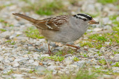White-crowned Sparrow Royalty Free Stock Photo