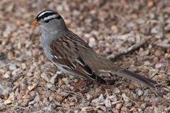 White Crowned Sparrow. A White Crowned Sparrow on the ground Royalty Free Stock Image