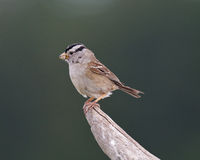 White-crowned Sparrow with insect Royalty Free Stock Photography