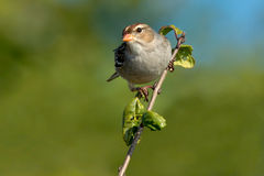 White-crowned Sparrow Royalty Free Stock Image