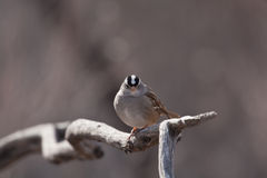 White Crowned Sparrow. A white crowned sparrow on a limb Royalty Free Stock Photos