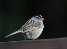 White-crowned Sparrow Looking Back Royalty Free Stock Images