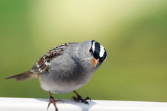 White-crowned sparrow looking Stock Photos