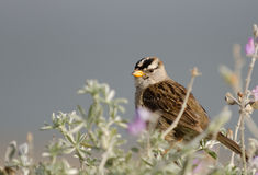 White-Crowned Sparrow in Lupine. White-Crowned Sparrow perches in Silver Lupine, solid grey background Royalty Free Stock Image