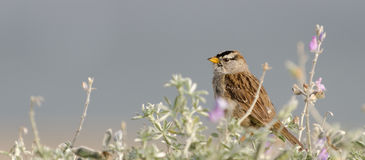 White-Crowned Sparrow in Lupine. White-Crowned Sparrow perches in Silver Lupine, solid grey background Stock Images