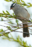 White-crowned Sparrow Stock Photo
