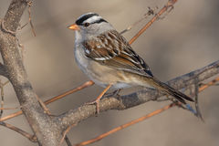 White-crowned Sparrow. Perched on a branch Royalty Free Stock Image