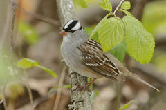 White-crowned Sparrow Perched on a Branch in Spring Stock Photography