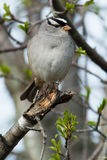 White-crowned Sparrow. Perched on a broken branch Stock Photography