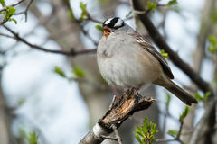 White-crowned Sparrow. Perched on a broken branch Royalty Free Stock Image